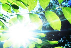 Leaves and sun. Leaves for sun in the morning Royalty Free Stock Photo