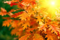Leaves and sun. Red autumn leaves and sun background Royalty Free Stock Image