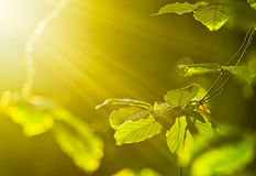 Leaves in sun rays Royalty Free Stock Image
