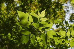 Leaves. Sun on the leaves of a tree in the forest Royalty Free Stock Image