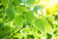 Leaves in sunlight Stock Images