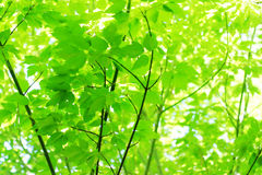Leaves in sunlight. Close-up low-angle view of tree leaves with sunlight shining behind Royalty Free Stock Photo