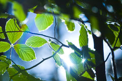 Leaves in sunlight. Closeup of some leaves in sunlight Royalty Free Stock Photo