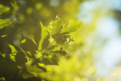 Leaves in Sunlight Royalty Free Stock Photography