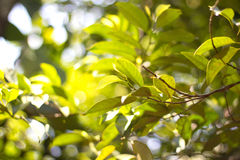Leaves in a sunlight Royalty Free Stock Photos