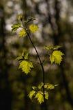 Leaves sunlit branch Stock Image