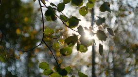 Leaves sway in the wind. Aspen leaves sway in the wind on a sunny day stock footage