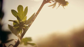 Leaves swaying in the wind in the sun. Leaves swaying in  the wind in the sun stock video