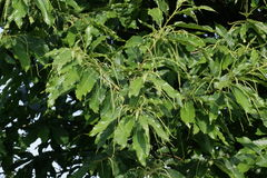 Leaves of Sweet Chestnut. (Castanea sativa Stock Images