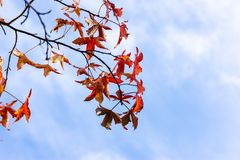 Sweet gum Autumn leaves against a blue sky. Leaves of the Sweet Gum or Liquidambar styraciflua against wispy clouds over a blue sky in autumn stock images