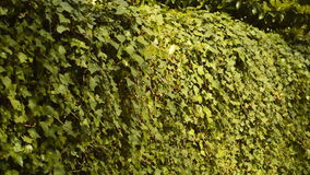 Leaves Swinging In The Wind stock footage