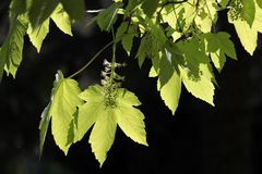 Leaves of the sycamore, Acer pseudoplatanus Royalty Free Stock Photo