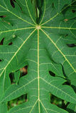 Leaves In Symmetry. A capture of some leaves from a stem in symmetry Royalty Free Stock Image