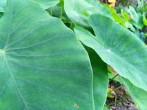 Leaves Taro. Taro leaves parallel seems cognate Royalty Free Stock Photos