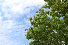 Leaves teak tree on side sky background spacing for copy Text Message royalty free stock image