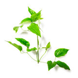 Leaves with tendril Stock Images