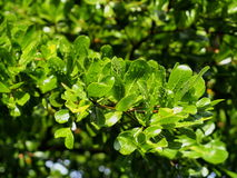 Leaves of Terminalia ivorensis Chev. Royalty Free Stock Images