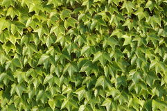 Leaves texture Royalty Free Stock Photo