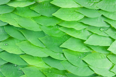 Leaves. Texture background of fresh green Leaf Royalty Free Stock Photos