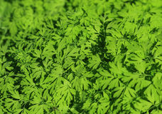 Leaves texture. Green leaves texture in Spain Royalty Free Stock Photo