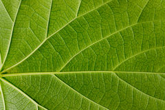 Leaves texture green Royalty Free Stock Photo