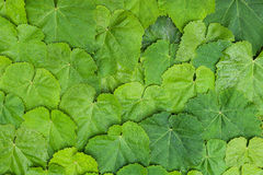 Leaves Texture Pattern. Grape Vine green leaves texture Royalty Free Stock Photo