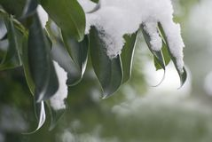 Leaves with thick snow layer Royalty Free Stock Photo