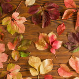 Leaves of thicket creeper Stock Image