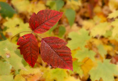 Leaves of Three Royalty Free Stock Photo