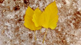 Leaves. Three delicate golden fall tropical leaves one each other agains stone rough backround stock photography