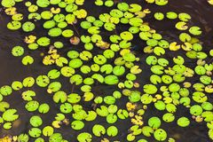 Leaves to float in lake with the format of the famous pacman doll. Africa stock photo