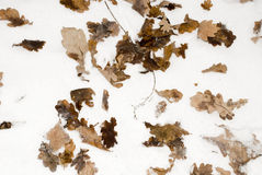 Leaves on to snow Royalty Free Stock Photography