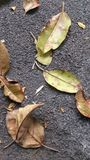 Leaves to walk on. Leaves collecting on asphalt pathway Stock Photography