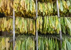 Leaves of tobacco drying in the shed. Leaves of dry tobacco in the factory Stock Photography