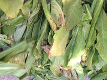 Tobacco leaves. Leaves of the tobacco plant dried and prepared for smoking or ingestion stock images