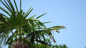 The leaves at the top of palm trees against the sky. The leaves at the top of palm trees against the blue sky stock video footage