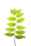 Leaves#3 translúcido Fotografia de Stock Royalty Free