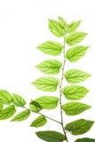 Leaves#2 translúcido Fotografia de Stock Royalty Free