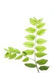 Leaves#1 translúcido Fotos de Stock Royalty Free