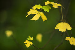 Leaves on a tree. Few yellow chesnut leaves on a tree during fall Stock Photo