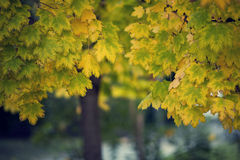 Leaves on a tree. Tree leaves with the trees in the background Royalty Free Stock Images