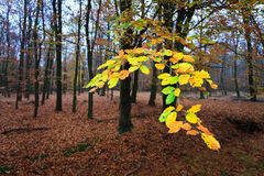 Leaves on a tree in autumn Stock Image
