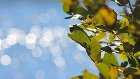 Leaves of the Tree on a Background Bokeh stock video footage