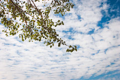 Leaves tree on blue sky background. Backdrop leaf limb white beautiful Royalty Free Stock Photos