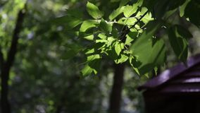 The leaves on a tree branch in summer. Sunny day stock video