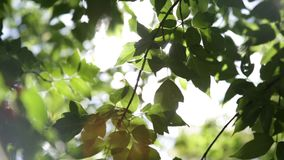 The leaves on a tree branch in summer. Sunny day stock footage