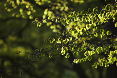 Leaves on Tree Branches Royalty Free Stock Photos