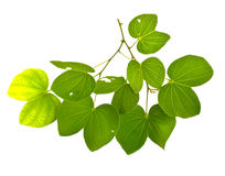Leaves of a tree.(Burma Padauk leaves) Royalty Free Stock Photo