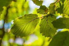Leaves of a tree in detail Royalty Free Stock Images