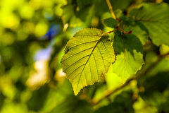 Leaves of a tree in detail Royalty Free Stock Image